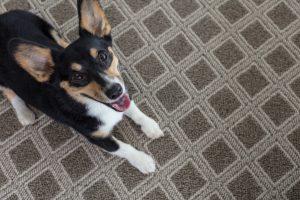 Dog on Carpet | West River Carpets