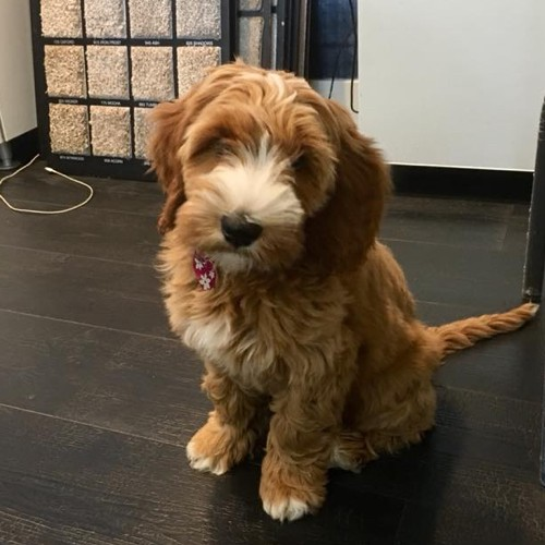 penny the puppy | West River Carpets